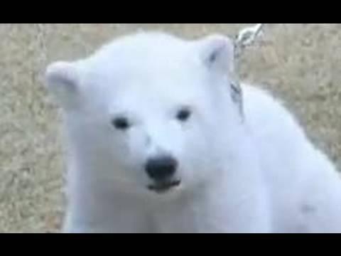 ホッキョクグマの赤ちゃんが生まれたよ!Polar Bear Baby