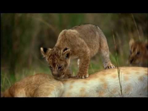 FELINOS DE AFRICA | Trailer español latino