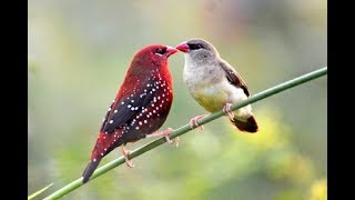 Top 35 Red Avadavat Birds On Earth! Most Beautiful 35 Red Avadavat Birds In The World #35