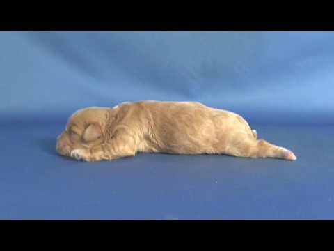 【ペットノート】 マルプー(マルチーズ×トイ・プードルのミックス犬) 女の子 16062301