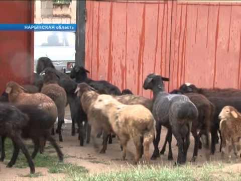 Неизвестные существа чупакабра держат в страхе жителей Кочкорского района