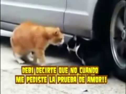 Gatos peleando traduccion