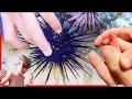 😱STUNG By Venomous Sea Urchin!