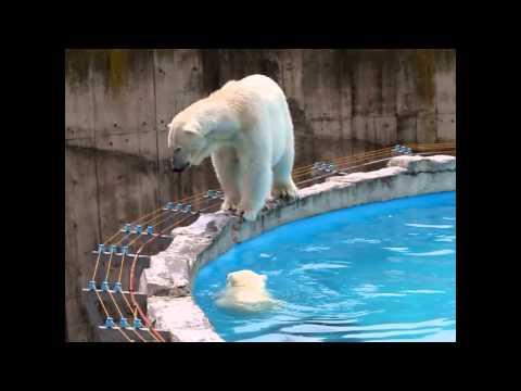 プールのふちからちゃぽん♪ ホッキョクグマの赤ちゃん 円山動物園