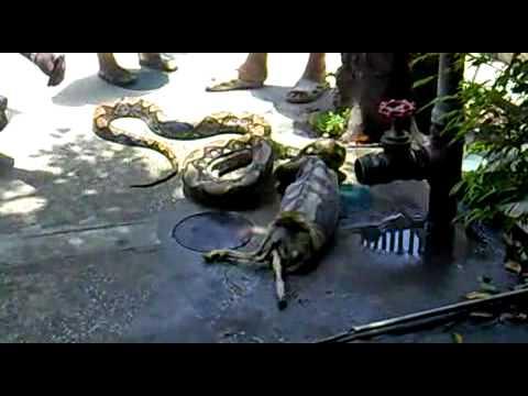 Tigers Eat Goat Snake Eat Goat