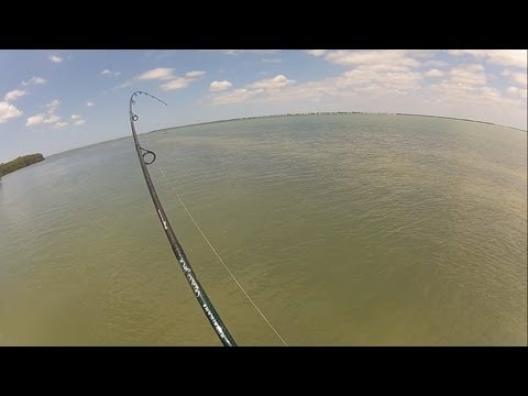 Bonnethead shark - Sight fishing the flats