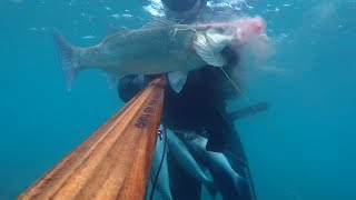 zipkinla levrek avi winter spearfishing (seabass-spigola-lubina)