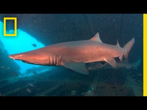 Did You Know Sand Tiger Sharks Cannibalize Each Other in the Womb?