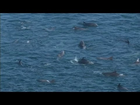 Dolphin killing starts at Taiji cove in Japan