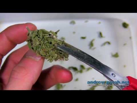 How To Trim & Manicure Cannabis / Marijuana / Weed - Trimming the Royal Queen Seeds Easy Bud