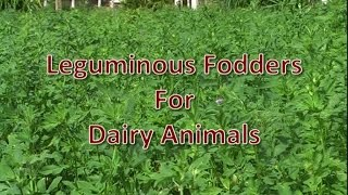 Leguminous Fodders for Dairy Animals