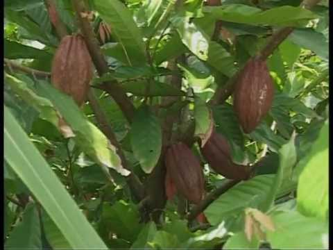 Cultivating Organic Cocoa With WEHG Soil Conditioner 100% Natural Herb Product In VN