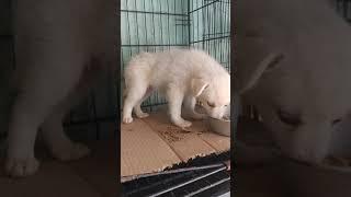 Female puppy sale
