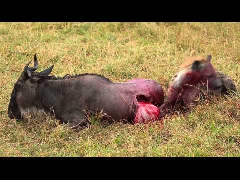 Hyena Eats Wildebeest Alive!!!  Brutal Killing   Part 2