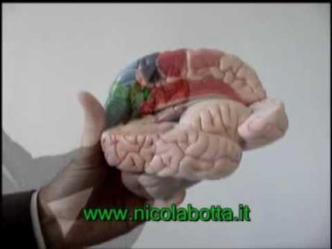 Il cervello umano o il cervello dell'uomo, neuroanatomia e neuroimaging