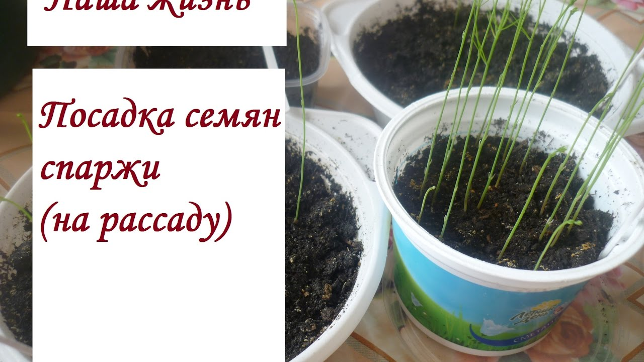 Выращивание из семян аспарагуса 26