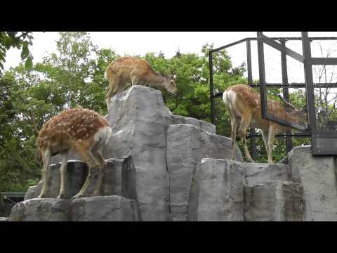 2011年7月4日 旭山動物園 イケメンエゾシカとイケメン飼育員