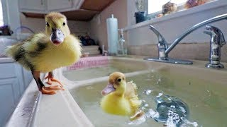Lost footage... our DUCKLINGS swimming for the first time