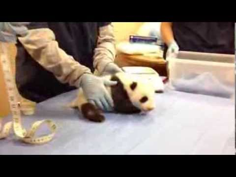 Giant Panda Cub is Almost Eight Weeks Old
