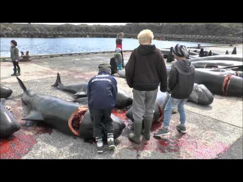 Pilot Whale Hunt Faroes June 2012