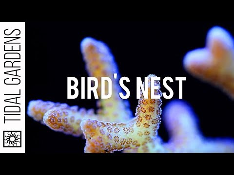 Seriatopora Bird's Nest Corals video