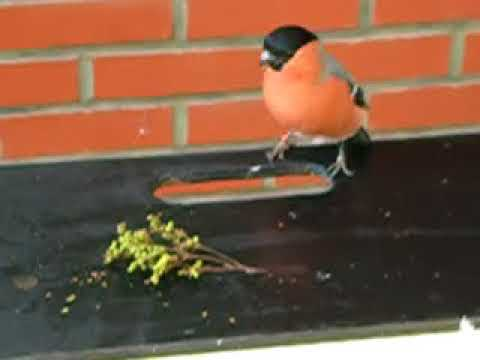 Fighting Bullfinch