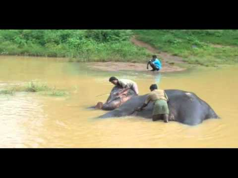 Indian tribal people washing their elephant