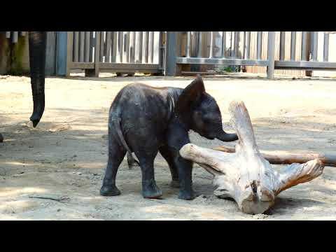 8 Tage altes Baby Kibali & Mama Numbi. Afrikanischer Elefant (Loxodonta africana) fz82 Superzoom