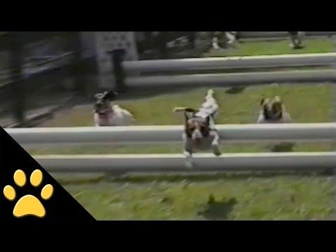 障害物レース中にワンダフルなタンブリングを見せた犬