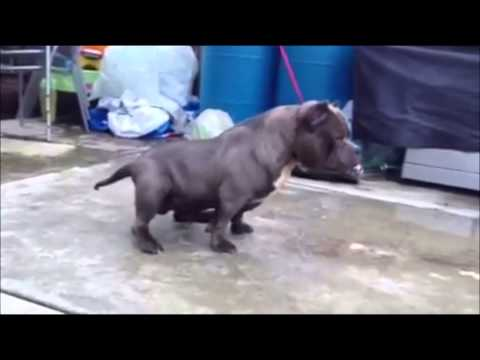 exotic bully kennels