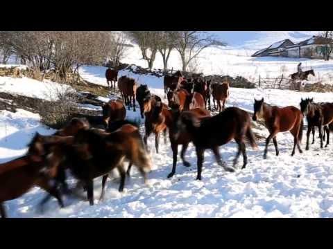 Табун карачаевской породы лошадей Усть-Джегутинском районе КЧР, в урочище «Къош Чокъракъ»