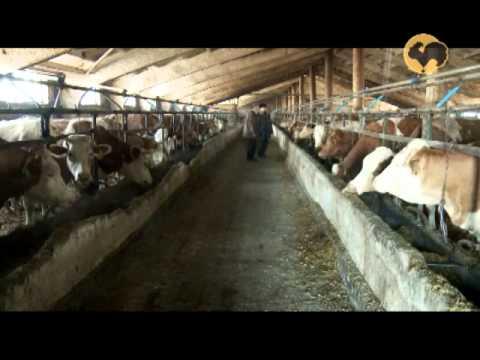 Симментальская порода коров 143