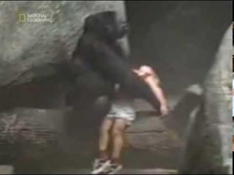 Bambino cade nel recinto dei Gorilla!