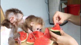 De zomer van de aapbabys - koele watermeloen