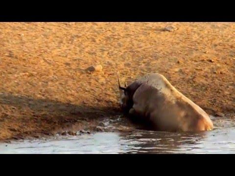 Black Rhino at Etosha National Park, Namibia