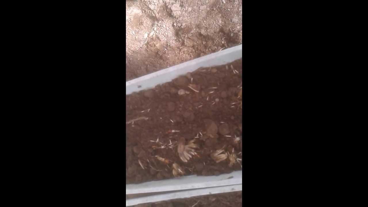 Semer des oeillets d 39 inde youtube - Semer des oeillets d inde ...