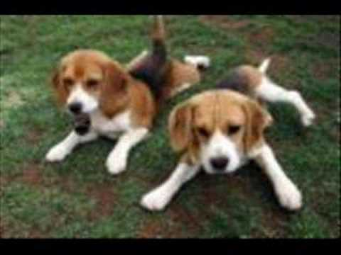 A Beagle Tribute