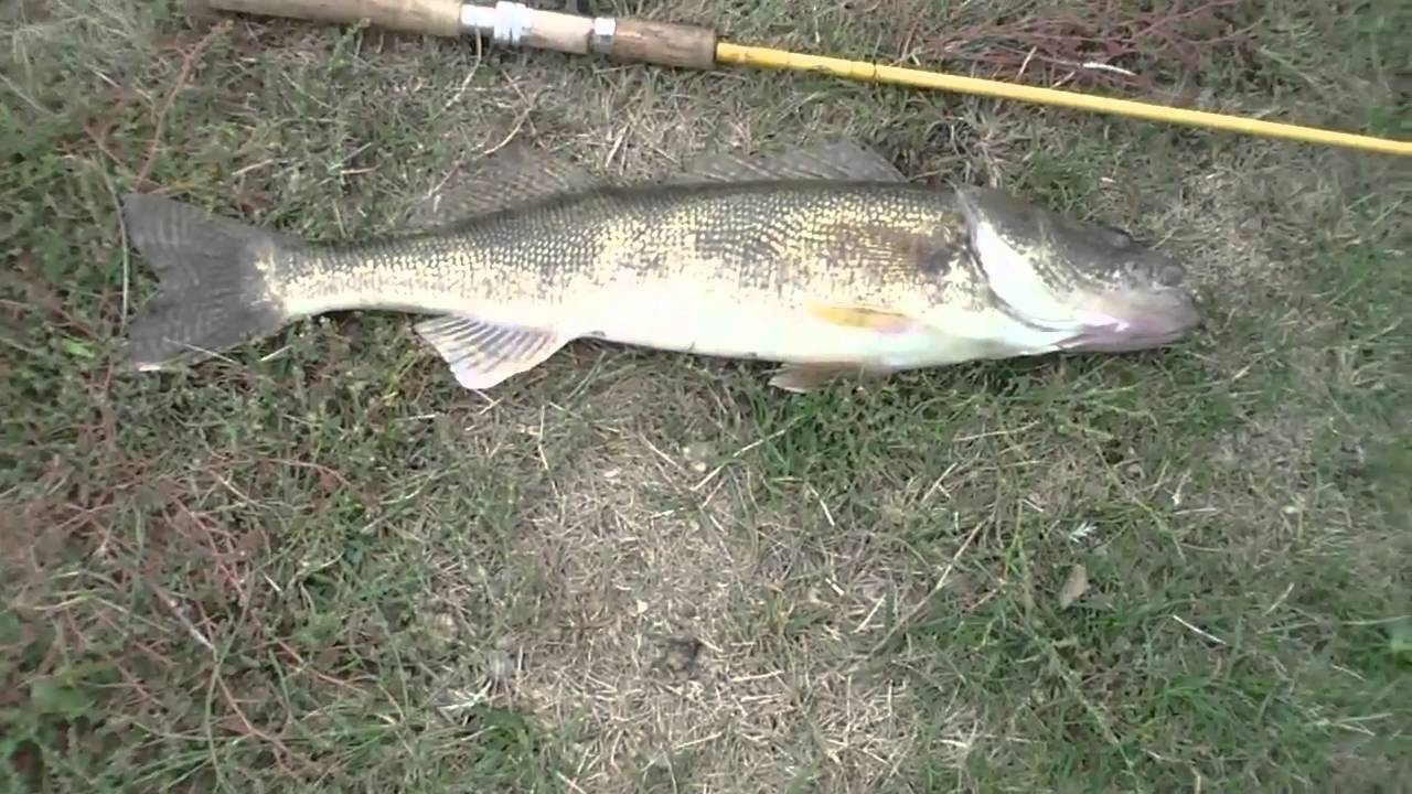 Six pound walleye delco park pond kettering ohio youtube for Koi pond kettering