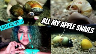 ALL MY APPLE SNAILS UPDATE! (6 months later)