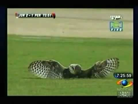 Luis Moreno kicks an injured owl off! CRUEL
