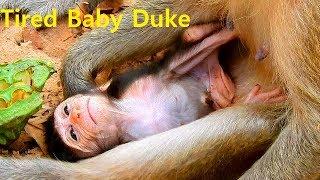 Very Tired Poor Baby Duke Follow Mom Walk So Far | Baby Duke Look soft No Power Full