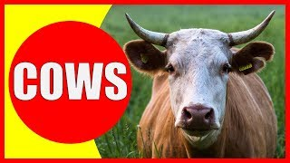 COW VIDEOS FOR KIDS - Facts about Cows for Children, Preschoolers and Kindergarten