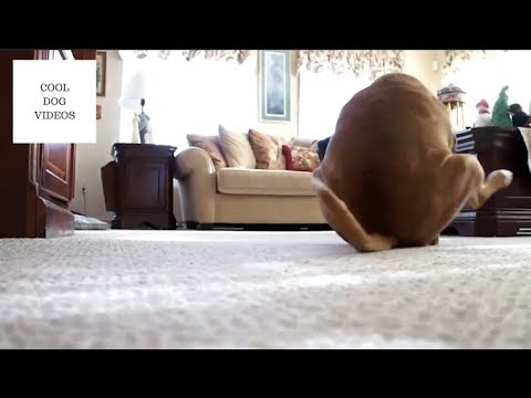Funny Dogs Butt Scooting Compilation