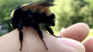 Close up of a bumble bee's stinger