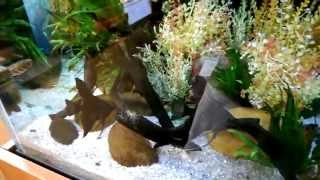 Angel fish protecting eggs