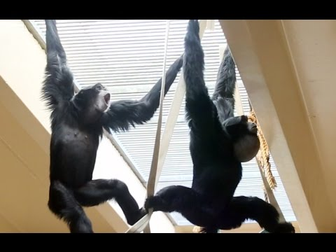 Siamang Gibbons howling and playing