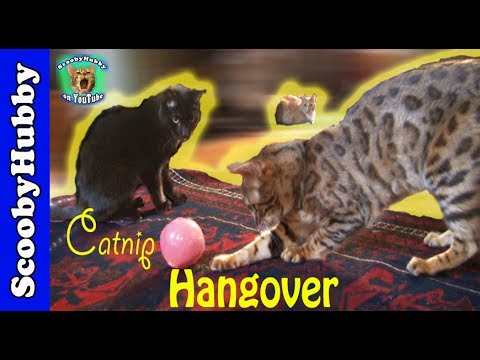 Catnip Hangover -- Cat Clips #248