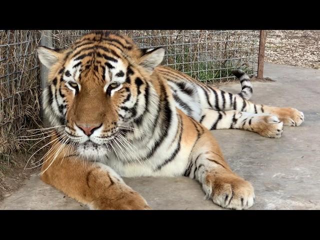 Тигр хотел меня ПЕРЕХИТРИТЬ !!!