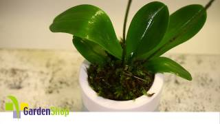 Quick Care Phalaenopsis (Moth Orchid)