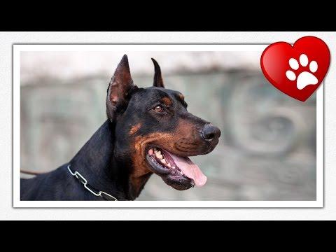 Pinscher vs Doberman Doberman(n Pinscher Dog